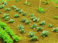 plant brix 1